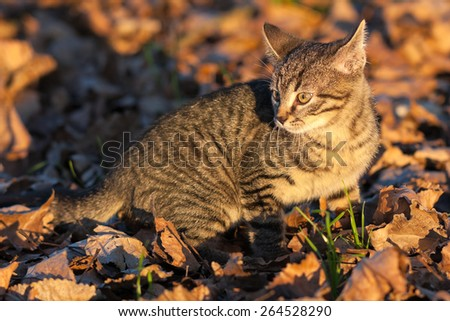 Ten weeks old tiger (tabby) kitten playing fallen autumn tree leaves in the late afternoon sun - stock photo