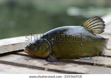 tench fish removed from the water, lying on the bridge