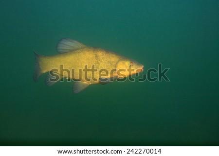 Tench fish (Tinca tinca) in the freshwater lake - stock photo