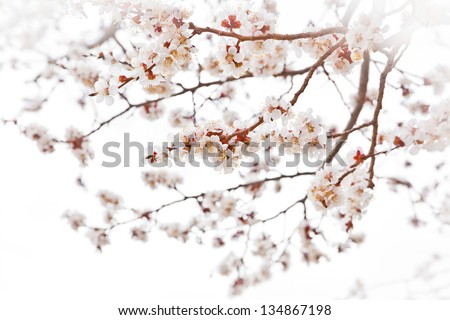 Tender cherry blossoms on misty white - stock photo