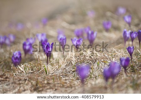 Tender Crocuses in the mountains. First flowers in spring among the yellow grass. Carpathian mountains, Ukraine. Image with small depth of field.