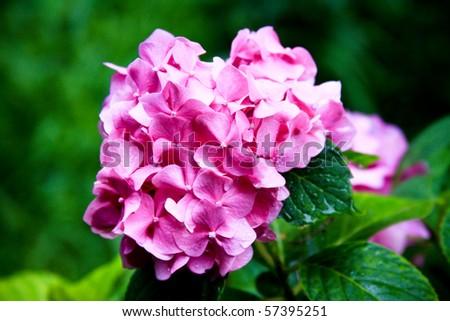 Tender hydrangea pink flowers - stock photo