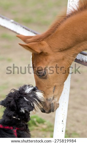 Tender image of miniature schnauzer kissing foal on ranch - stock photo