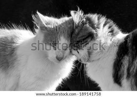 Tender kitties in black and white - stock photo