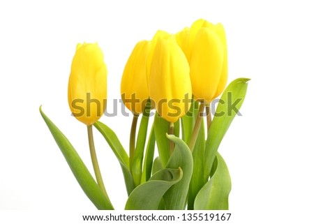 Tender lovely yellow tulips on Holiday theme