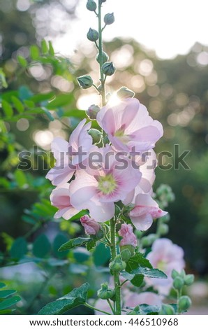 Tender mallow (Malvaceae, Alcea Rosea, common hollyhock) flowers in a summer garden.  - stock photo