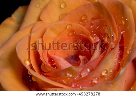 Tender orange rosebud with drops of water close-up. Macro image with small depth of field. - stock photo