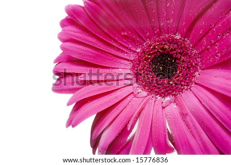 Tender pink daisy with teardrops