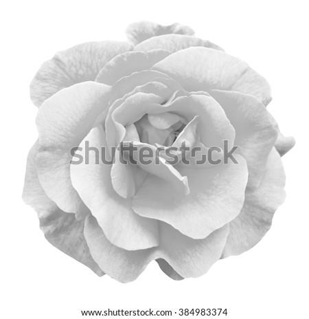Tender rose flower macro isolated on white black and white - stock photo