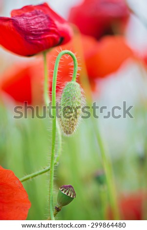 Tender shot of red poppies on the field over blue sky. Shallow depth of field - stock photo