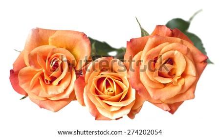 Tender tea roses on white background - stock photo