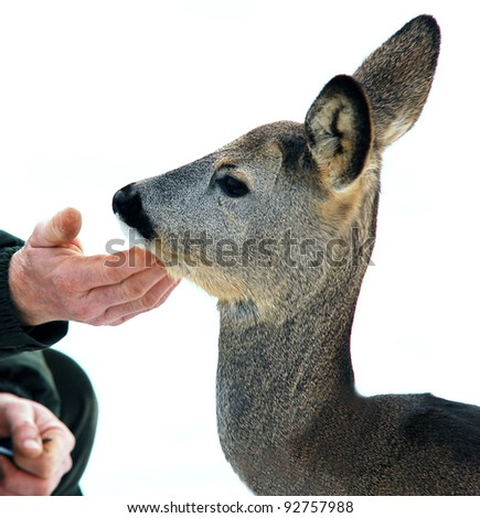Tender touch of man`s hand to a doe - stock photo