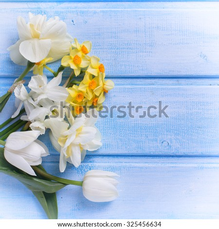 Tender  white and yellow narcissus  and tulips on blue  painted wooden planks. Selective focus. Place for text. Square image. - stock photo