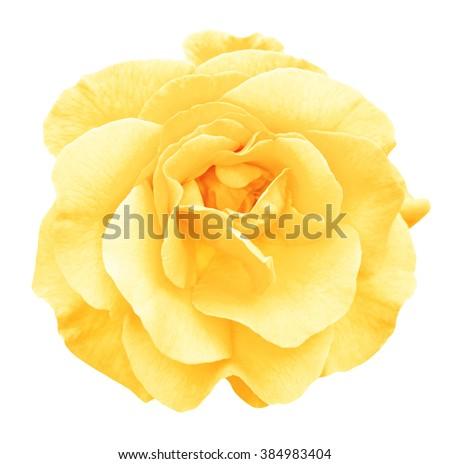 Tender yellow rose flower macro isolated on white - stock photo