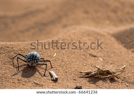 Tenebrionid Beetle or Namib Desert beetle, Sossusvlei, Namibia - stock photo