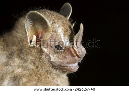 Tent-making bat (Uroderma bilobatum) portrait, Limon, Costa Rica. - stock photo