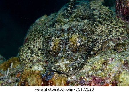 Tentacled flathead (Papilloculiceps longiceps), also known as a crocodile fish, camouflaged on a coral reef while looking into the camera. Taken in the Wakatobi, Indonesia.