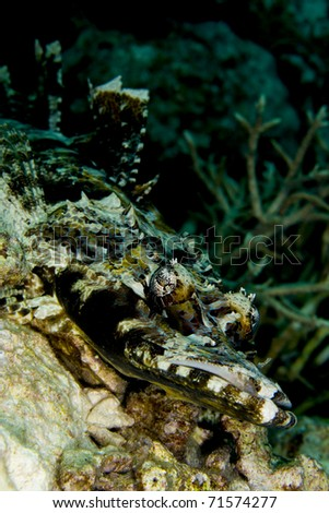 Tentacled flathead (Papilloculiceps longiceps), also known as an indian ocean crocodilefish, camouflaged on a coral reef with dorsal fin extended. Taken in the Wakatobi, Indonesia.