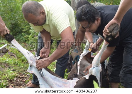 "Terengganu, Malaysia - Sept 13, 2016: Muslim man butchers trimming a cow during Eid Al-Adha. Eid al-Adha or the ""Sacrifice Feast"", is the second of two Muslim holidays celebrated worldwide each year"