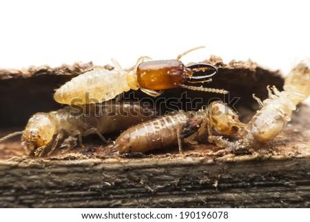 Termite macro on decomposing wood - stock photo
