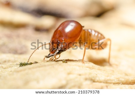 Termite macro on decomposing wood - stock photo