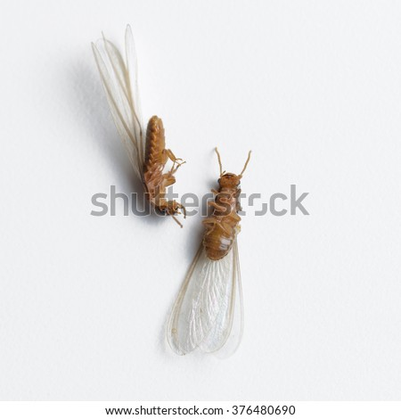 termite white ant dead on white background