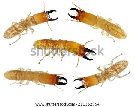 Termites. Macro.White isolated - stock photo