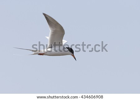 Tern flying over bait fish - stock photo