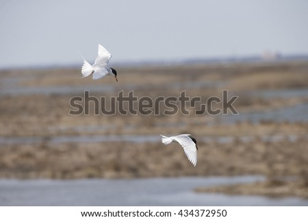 Terns flying over bait fish - stock photo