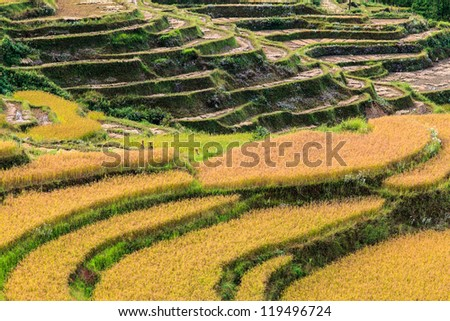 Terrace of ripe rice on a hill side - stock photo