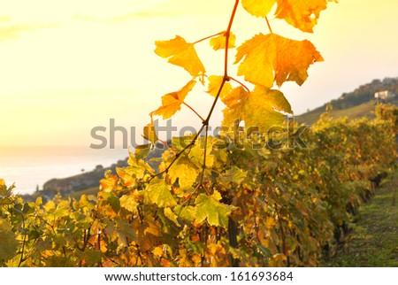 Terrace vineyards in Lavaux region, Switzerland  - stock photo