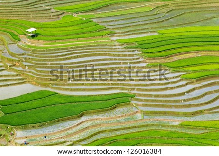 terraced field in Northwest. Vietnam
