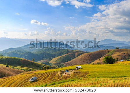 Terraced rice field under sun light at Ban Pa Pong Piang during harvesting time, Chiang Mai province, Thailand