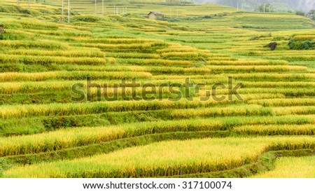 Terraced rice fields in harvest season in the Northern of Vietnam. This paddy rice farms are grown by Dao ethnic people in Y Ty, Lao Cai province. Beautiful mountain and cultivation concept. Panoramic