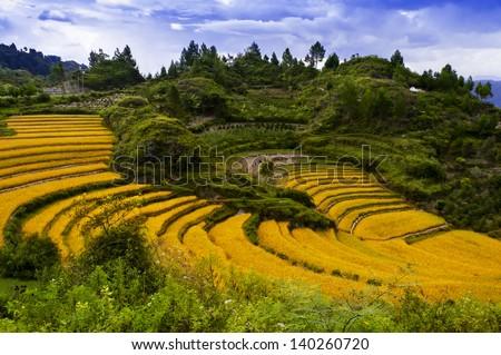 Terraces of Grain. Samosir Island North Sumatra, Indonesia. - stock photo