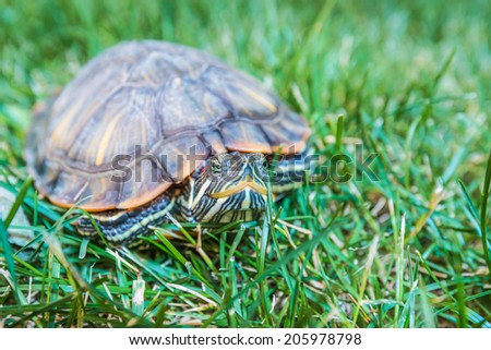 terrapin in the shell sitting on green grass - stock photo