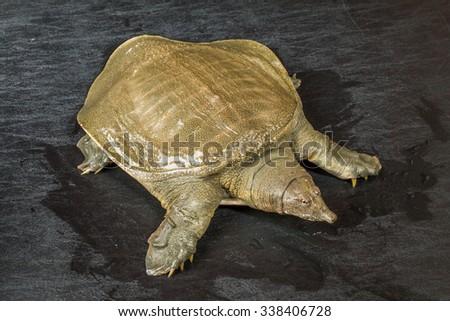 Terrapin tortoise Pelodiscus sinensis - stock photo
