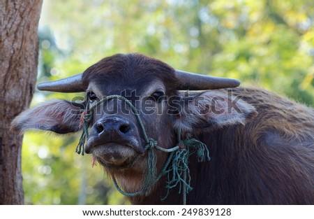 Terrestrial Animal, Thailand water buffalo looking at camera, close up - stock photo
