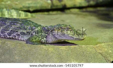 Crocodile Stock Photos Royalty Free Images Amp Vectors