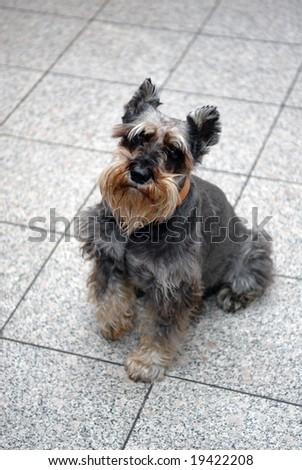 Terrier - stock photo
