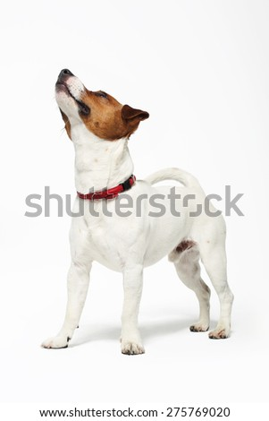 Terrier, crazy dog. The dog breed Jack Russell terrier white with a brown patch on a white background - stock photo