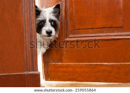 Terrier dog at the door at home watching the house from behind - stock photo