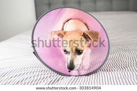Terrier Dog Not Excited to Wear Medical Cone on it's Neck - stock photo