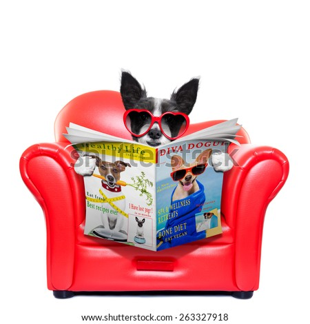 terrier dog reading magazine and tabloids on a red sofa , couch, or lounger , in living room , isolated on white background - stock photo
