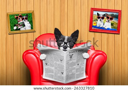 terrier dog reading newspaper on a red sofa , couch, or lounger , in living room , isolated on wood wall - stock photo