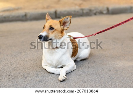 Terrier dog resting on the asphalt - stock photo