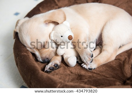 Terrier Mix Puppy Sleeping in Bed with Favorite Toy - stock photo