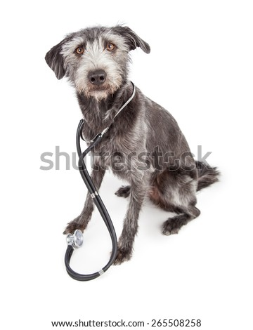 Terrier mixed breed dog sitting with a doctor stethoscope around her neck - stock photo