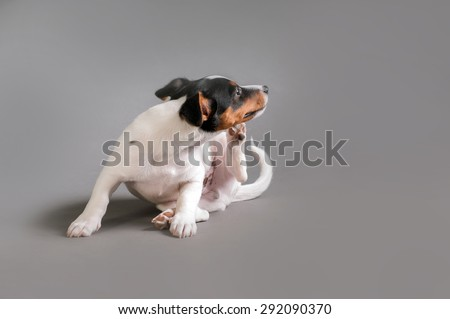 Terrier scratching behind the ear
