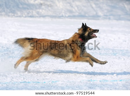 Tervuren dog runs - stock photo
